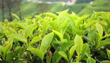 CORE.01 Essentials of Camellia Sinensis